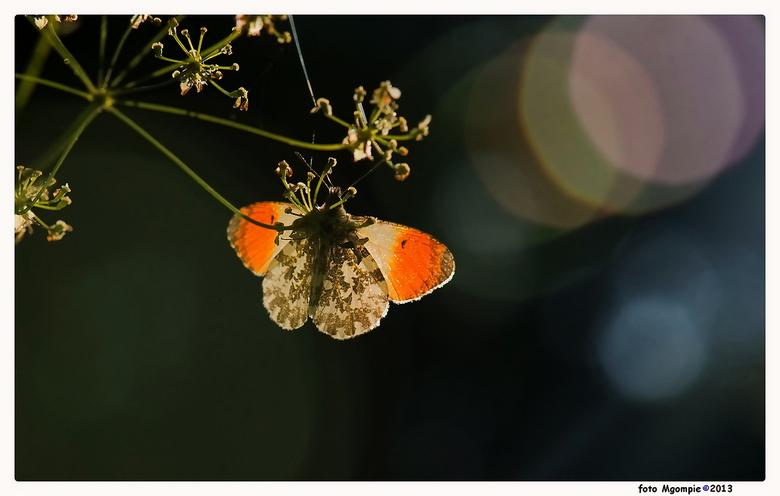 Tegenlichttipje - Eindelijk weer eens vlinders te zien op Walcheren.......Vandaar de Barca-reeks onderbroken voor het eerste geslaagde (!!!) oranjetip