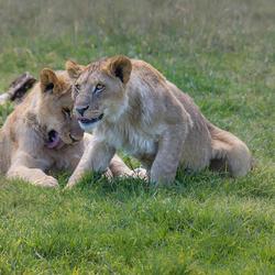 Jonge leeuwtjes