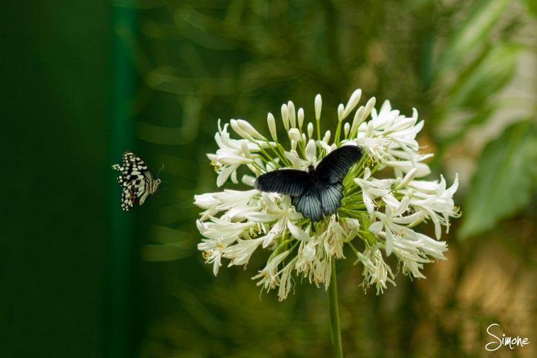 Vlinders - In de Botanische tuinen in Utrecht vind je deze prachtige vlinders.