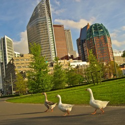 Geese visiting a city
