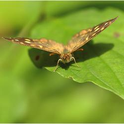 Cross-eyed butterfly