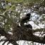 Ibis voedt jong