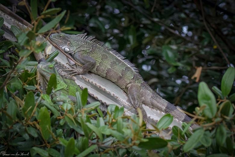 Leguaan  - Groene leguaan<br /> Groene leguanen zijn indrukwekkende reptielen en kunnen op Bonaire enorme proporties aannemen. Groene leguanen zijn n