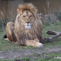 Leeuw Koning der Dieren
