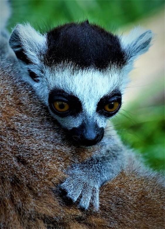 Jonge Ringstaart Maki in Amersfoort Zoo - Land van herkomst<br /> madagaskar