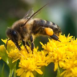 Guldenroede geliefd bij de bijen!