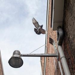 Opvliegende duif