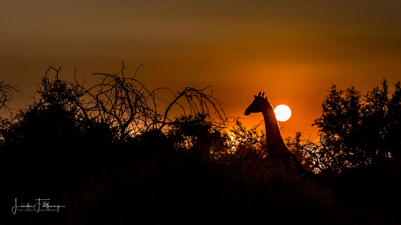 Giraffe bij zonsondergang - Einde van de dag een prachtige zonsondergang tijdens een safaritocht in Zuid Afrika.