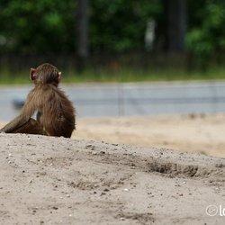 Eenzaam aapje