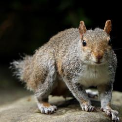 Eekhoorn zonder staart