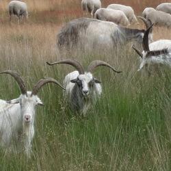 schapen in Noord-Limburg
