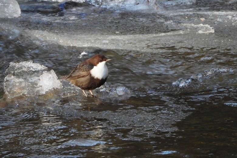 waterspreeuwtje - altijd leuk om ze op te gaan zoeken er zit er altijd wel eentje  in de winter  bij een riviertje gelukkig zat deze een beetje in de
