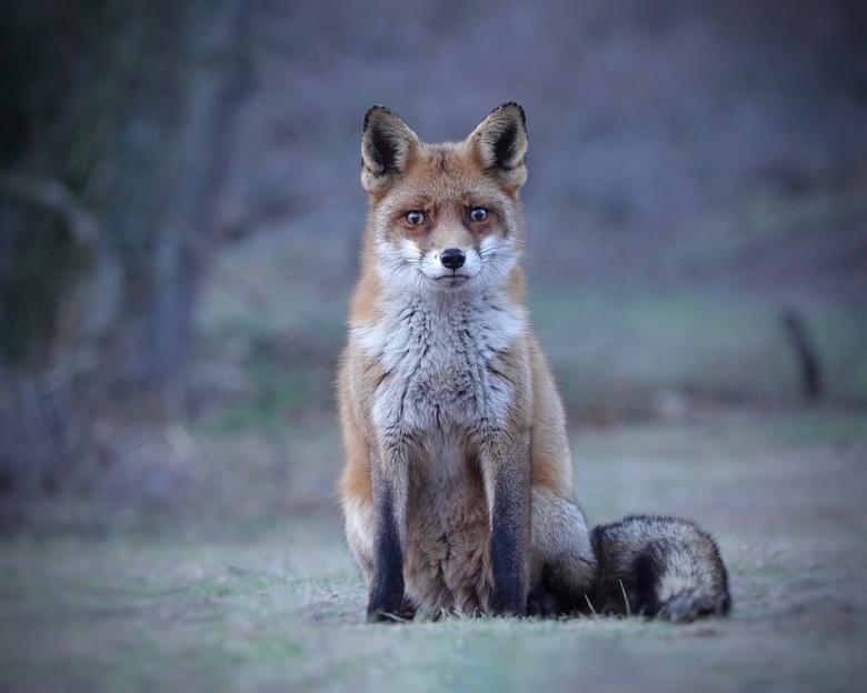 A perfect model - Eind middag, het licht wordt snel minder, als dit vosje langskomt en de sfeer heel bijzonder is. Bofmoment als ze er ook nog eens ru