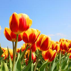 Tulpen bij Lisse