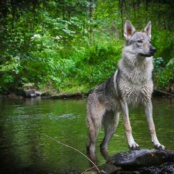 Tess, de wolfshond