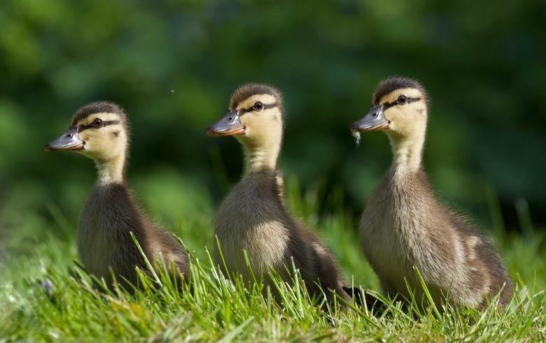 3 op een rij - Pulletjes van een week of 3 inmiddels.....nieuwsgierig zijn ze...maar moeders waakt goed over ze