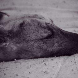 windhond slapen ook.