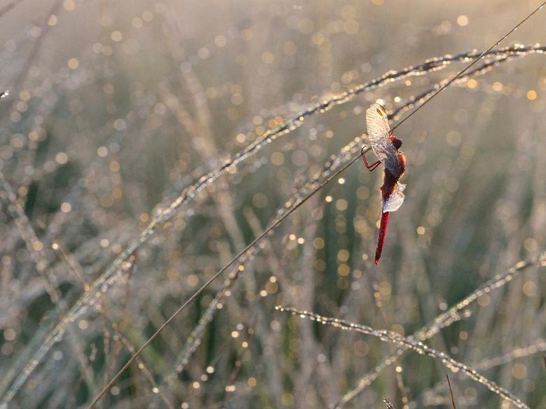 red - mooie vuurlibel in zijn natuurlijke omgeving