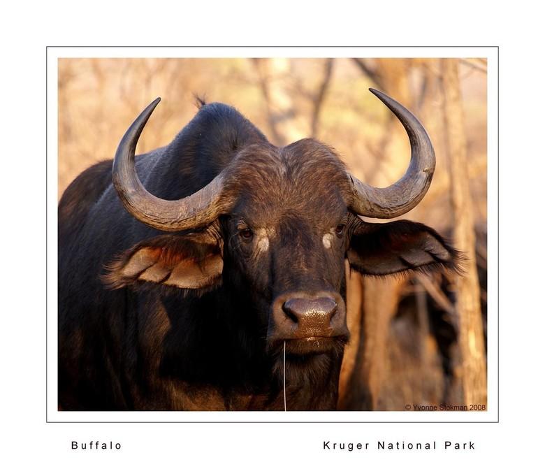 Buffel - Allereerst wil ik iedereen bij deze een gezond en fotorijk 2009 toewensen.<br /> <br /> Deze foto is gemaakt in het Krugerpark in Zuid-Afri