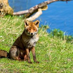 Fox at the Lake