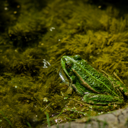 A Frog in his Green Bed