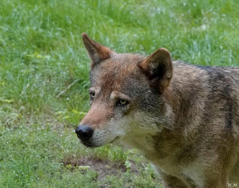 Wolf - Al een aantal keren naar de dierentuin  in Nordhorn geweest maar nooit liet de wolf zich zien. Nu wel.