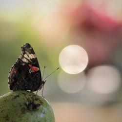 fruitig vlindertje