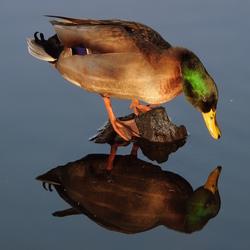 Spiegeltje, spiegeltje in het water...wie in dit land heeft de mooiste snater..?