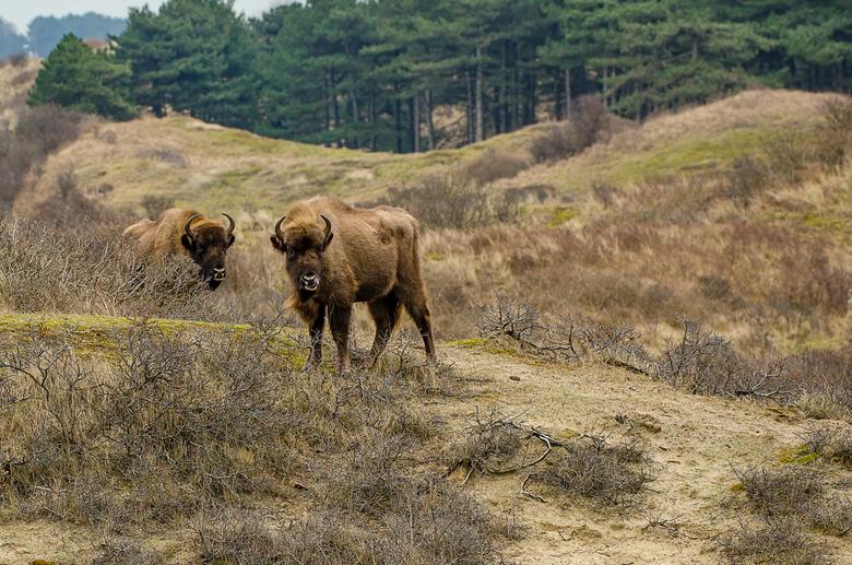wisent - In de Kennemerduinen loopt een kudde wisenten. In de wintermaanden kun je door dit gebied wandelen en kunnen ze je pad kruisen. Best wel span