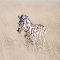 Zebra in de Etoscha Pan