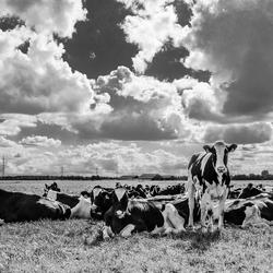 Nijstad- Cows