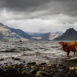Koe bij de berg