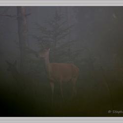 Hindes in de mist