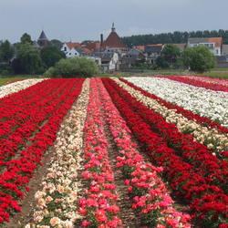 rozenveld bij Arcen