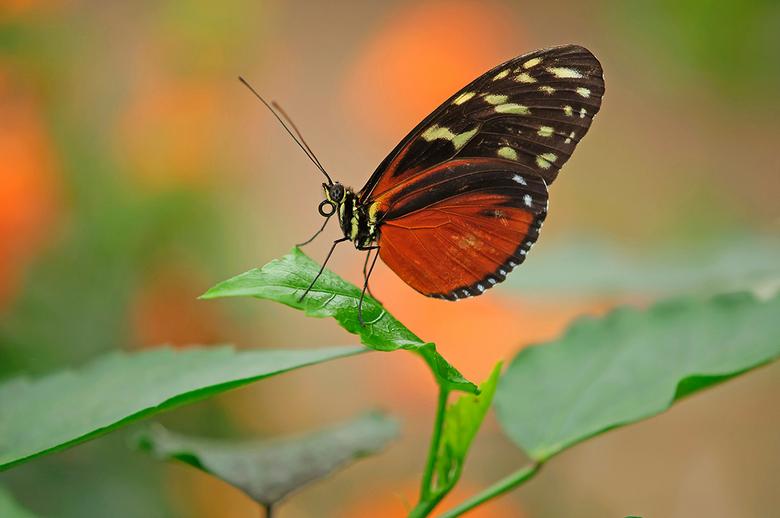 vlinder - Nog een paar foto's van de serie vlinders, gefotografeerd in de Orchideëenhoeve.