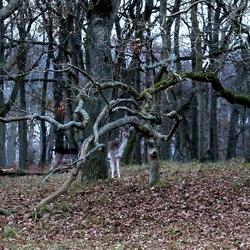 Hert tussen bomen