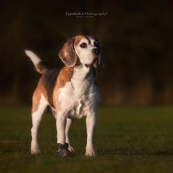 Giant Beagle!