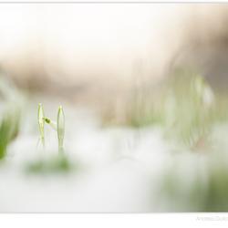 Snowdrop serenity