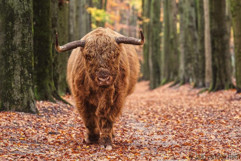 Highlander in Autumn -