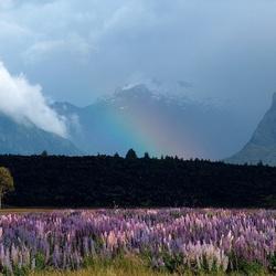 Lupines met regenboog nieuw zeeland