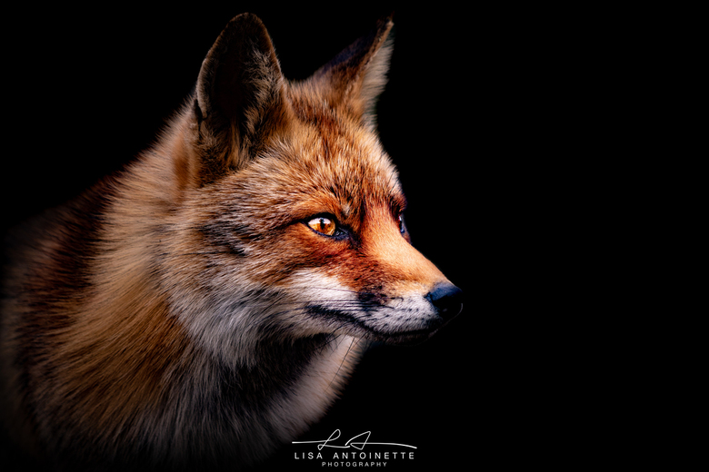 The Golden Fox - in het AWD vandaag