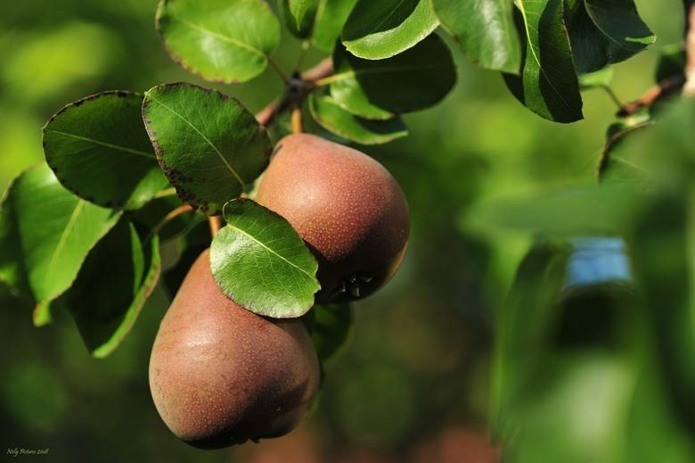 Fruit voor de herfst - Het is zo droog in de tuin. Varens leggen het hoofd neer. Floxen staan  met hangende blaadjes en hoofd.<br /> Bloeiende horten