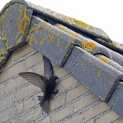 Gierzwaluw voert jonkies