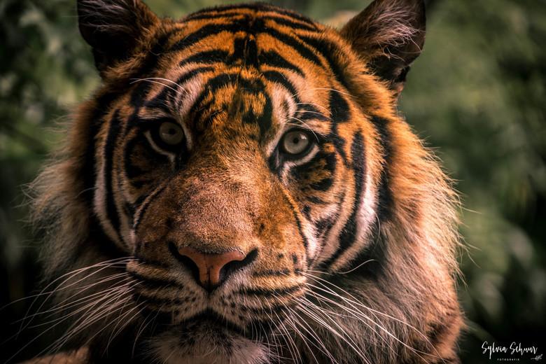 Sumatraanse tijger  - Doordat er (uiteraard) glas tussen zit is de foto niet helemaal scherp.