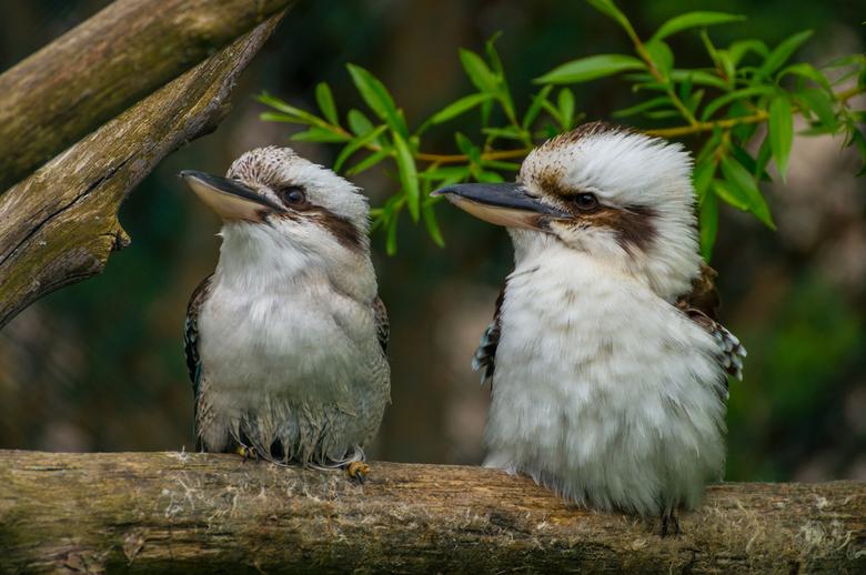 Kookaburra - Twee kookaburra's samen op een tak in vogelpark faunapark flakkee.