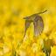 Gele-Kwikstaart
