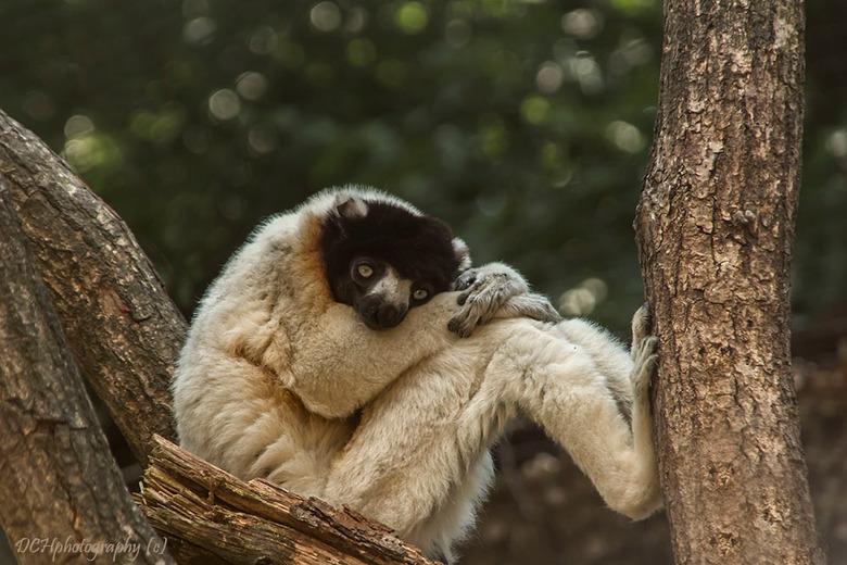 Pffff, wat een hitte!  - Je kon aan sommige apen zien dat ze het warm hadden en het liefst niks deden dan alleen maar in de bomen hangen zoals deze si