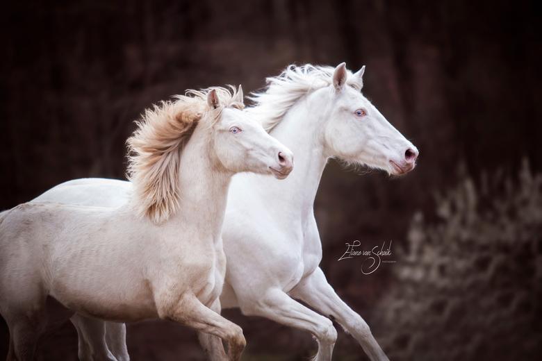 connemara's mother stallion - de prachtige connemara's  in actie