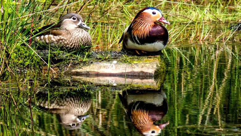Mandarijneenden - Normaal komen ze niet in het wild voor in Nederland, dus dit koppel zal wel ontsnapt zijn