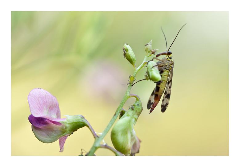 Schorpioenvlieg - Bijzonder mooi insect om dichtbij te bekijken. De luizen op de siererwt waren voor hem niet veilig.
